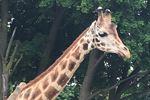 Bowmanville Zoo giraffe